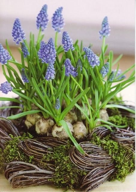 Grape Hyacinth: Mascari - Just Lovely!