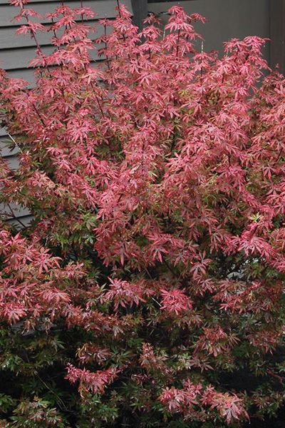 Japanese Maples Acer Palmatum Kandy Kitchen Super Wet Acer