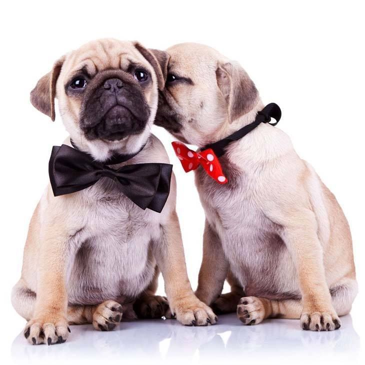 Pug Names For The One Of A Kind Male Or Female Cute Pugs Pugs
