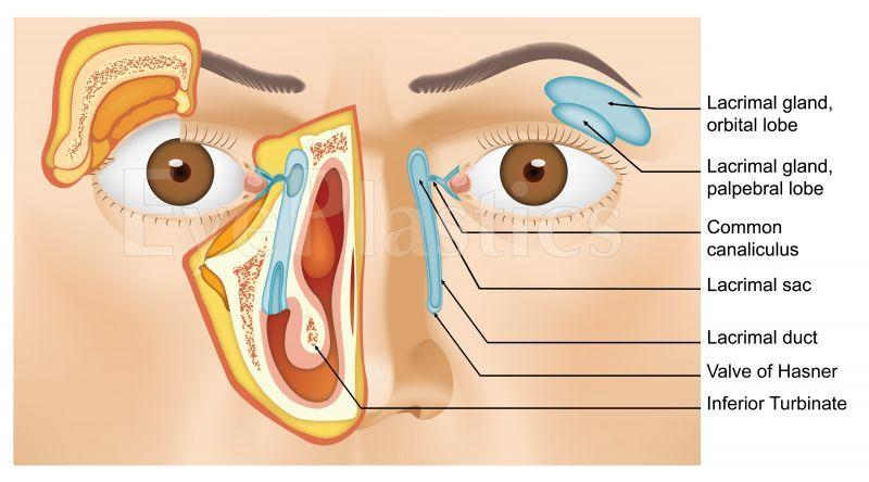 Tear Duct Lacrimal Tearing Tearduct Tear Duct System Description