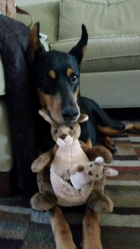 Doberman Pinscher Dog For Adoption In Cypress Tx Adn 508412 On Puppyfinder Com Gender Female Age Ad Doberman Pinscher Dog Doberman Puppy Doberman Pinscher
