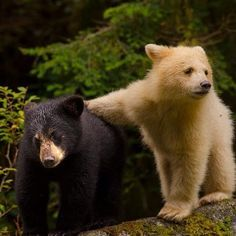 Sibling spirit bears, from BC's Great Bear Rainforest.    Photo by Ian McAllister at Pacific Wild