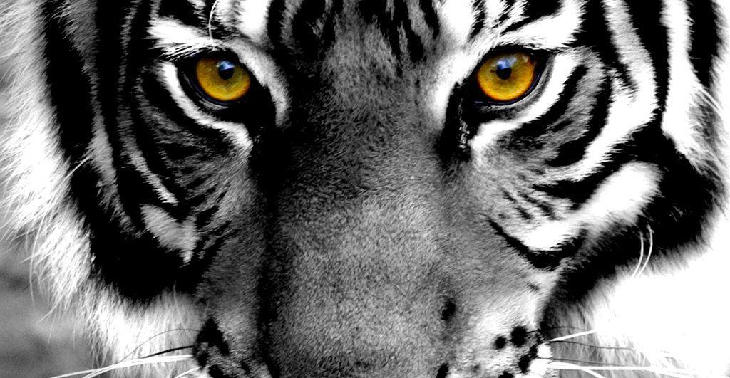Tiger Eye Drawings Tumblr