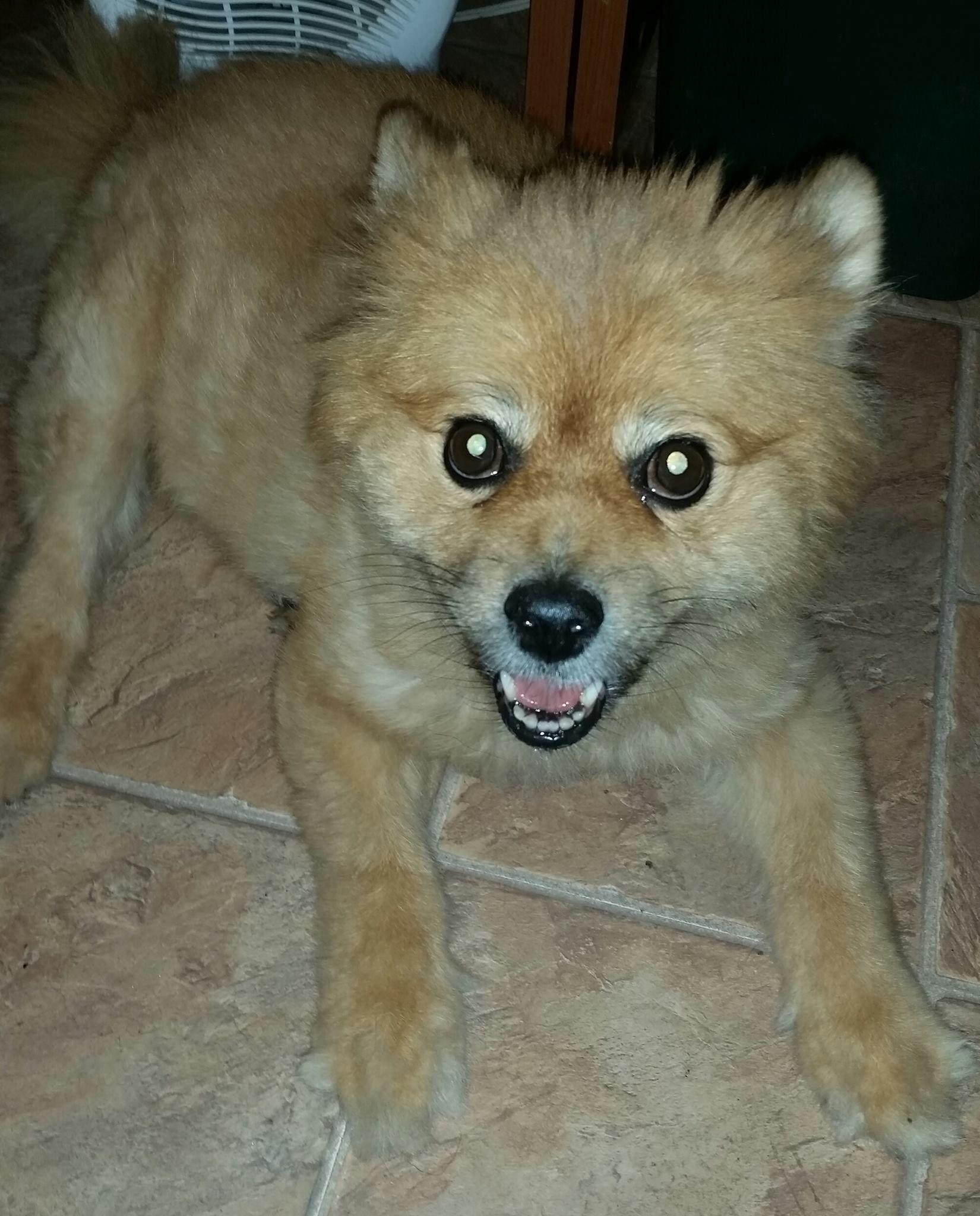 Pomeranian dog for Adoption in Temple GA ADN on