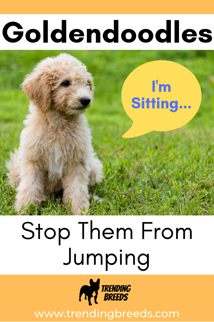 Your Goldendoodle Puppy Jumping Up? 90 Effective