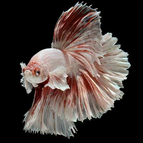 Pin On Betta Betta fish wallpaper gif rosetail on
