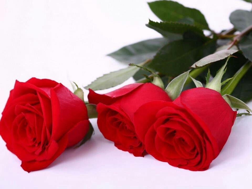 صباح الورد صباح الشوق صباح الحب والرقه صباح خاص بك وحدك انت تستحقه Rose Flower Wallpaper Red Rose Flower Beautiful Red Roses