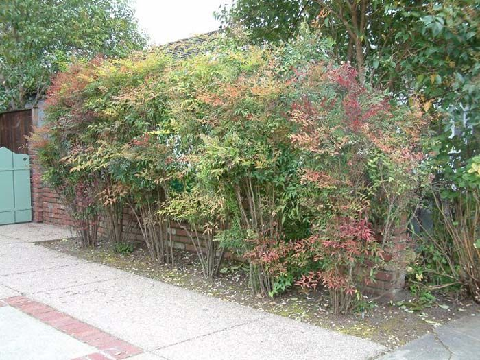 Nandina Domestica Heavenly Bamboo Left Side Planting For Privacy Also Explore Dwarf Versions Privacy Landscaping Desert Landscaping Plants