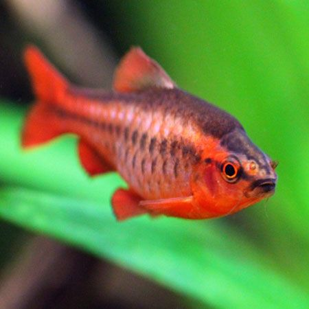 Cherry Barb Tropical Fish Tanks Fish Pet Fish