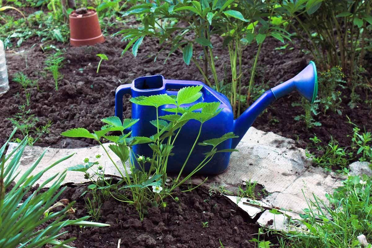 Tomaten Richtig Ausgeizen Wie Wann Und Wie Oft Pflanzen Basilikum Pflanzen Unkraut Im Garten