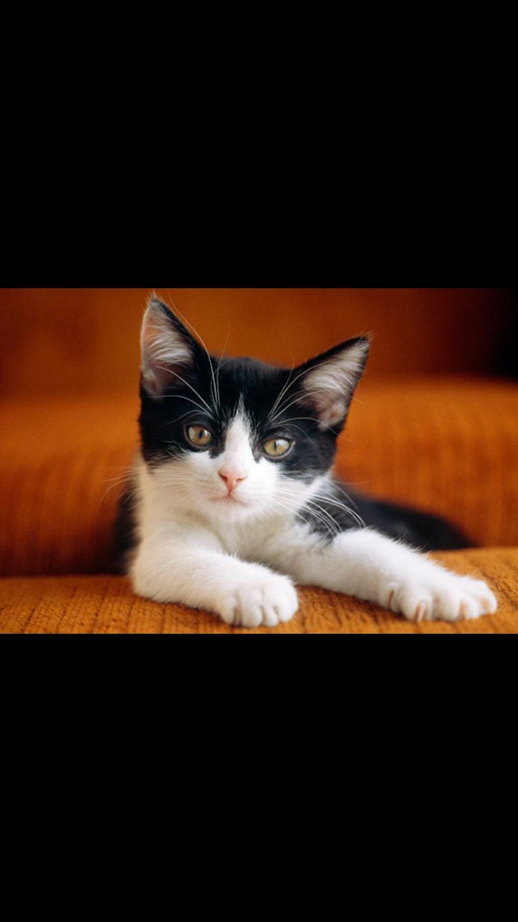 Pin by AmazingKaylaisnotonfire on Cats White cat breeds