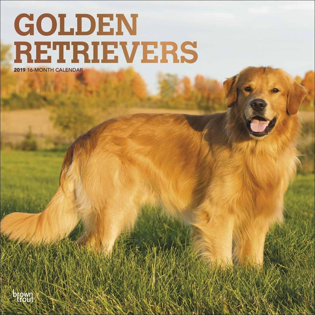 Golden Retriever Calendar 2019 Calendar Club Uk Christmasstockingfiller Dogcalendar Giftfordoglovers Af Golden Retriever Retriever Best Dogs For Families