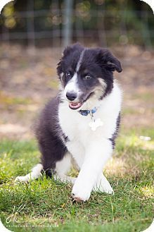 Border Collie Mix Puppy For Adoption In Corning California