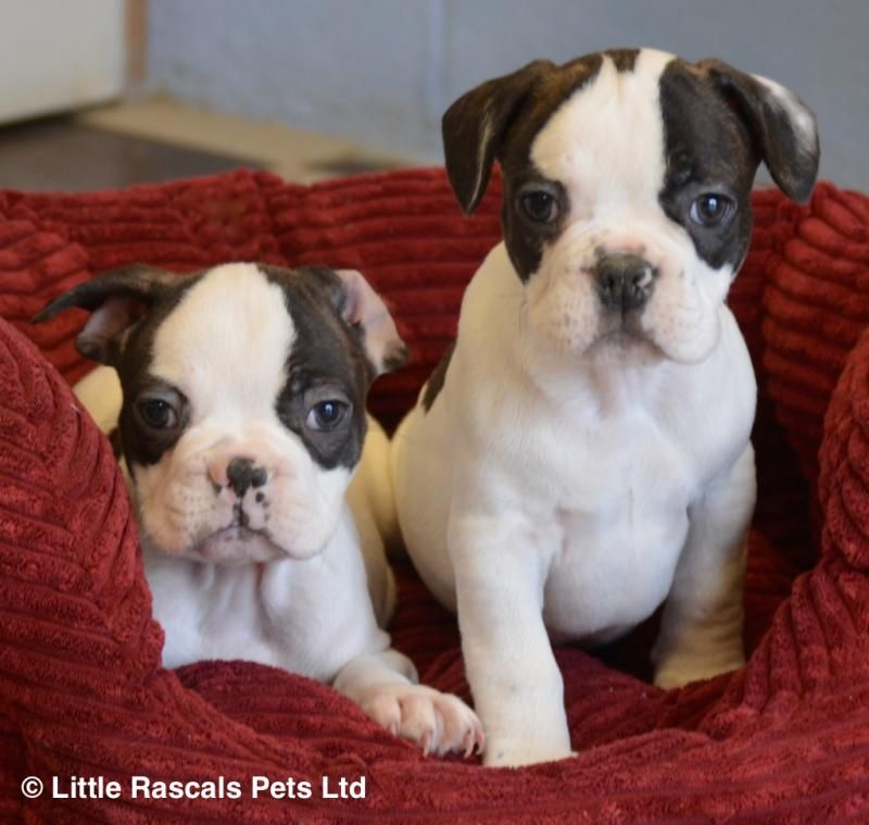 3 4 French Bulldog X Pug Puppies Designer And Cross Breed
