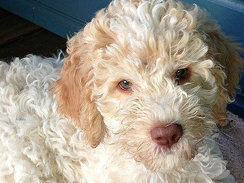 Bildergebnis für lagotto romagolo eyes Hunde, Tiere