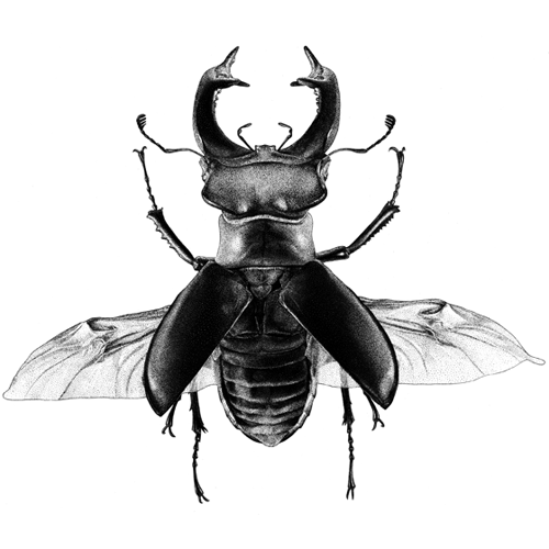 Lucanus cervus. Tinta-da-china s/ scratchboard
