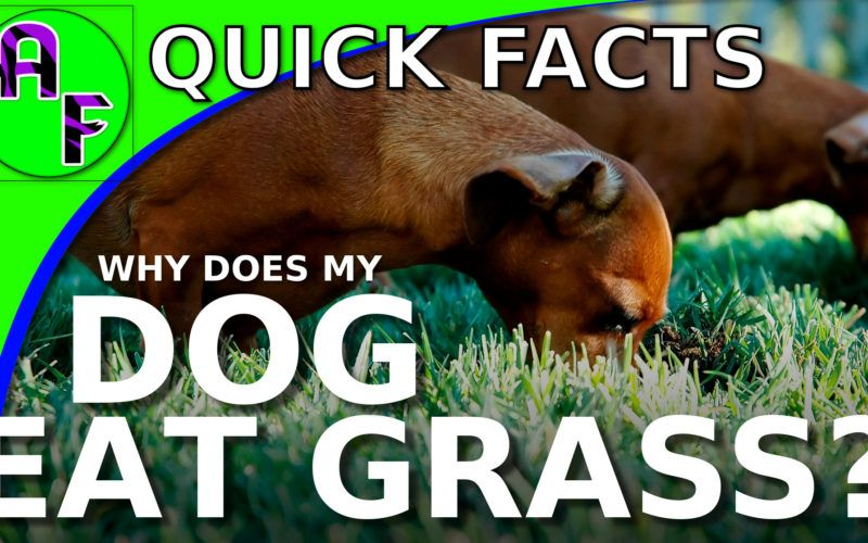 Why does my dog want to eat grass all of a sudden