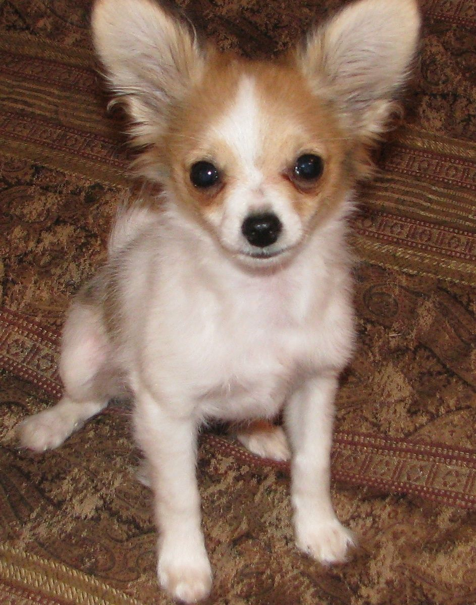 White And Lemon Papillon With Images Puppies Doggy Papillon