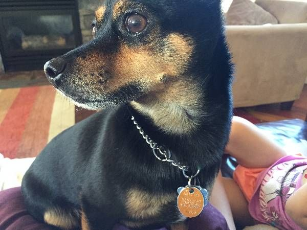 Lost Dog Chihuahua In Seattle Wa Pet Name Marco Id 96097 Gender Male Breed Chihuahua Breed 2 S Losing A Dog Chihuahua Breeds Shiba Inu Colors