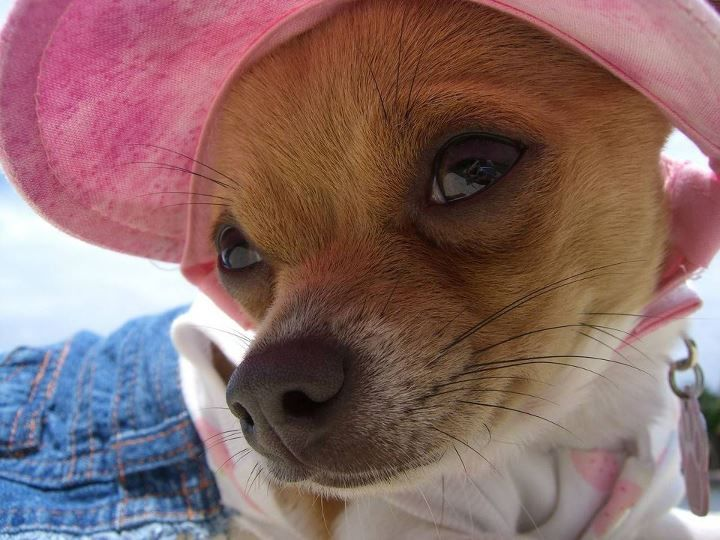 Pin By Suzie De Unamuno Garcia On Puppy Luv 3 Cute Cats And Dogs Chihuahua Dog Breed Photos