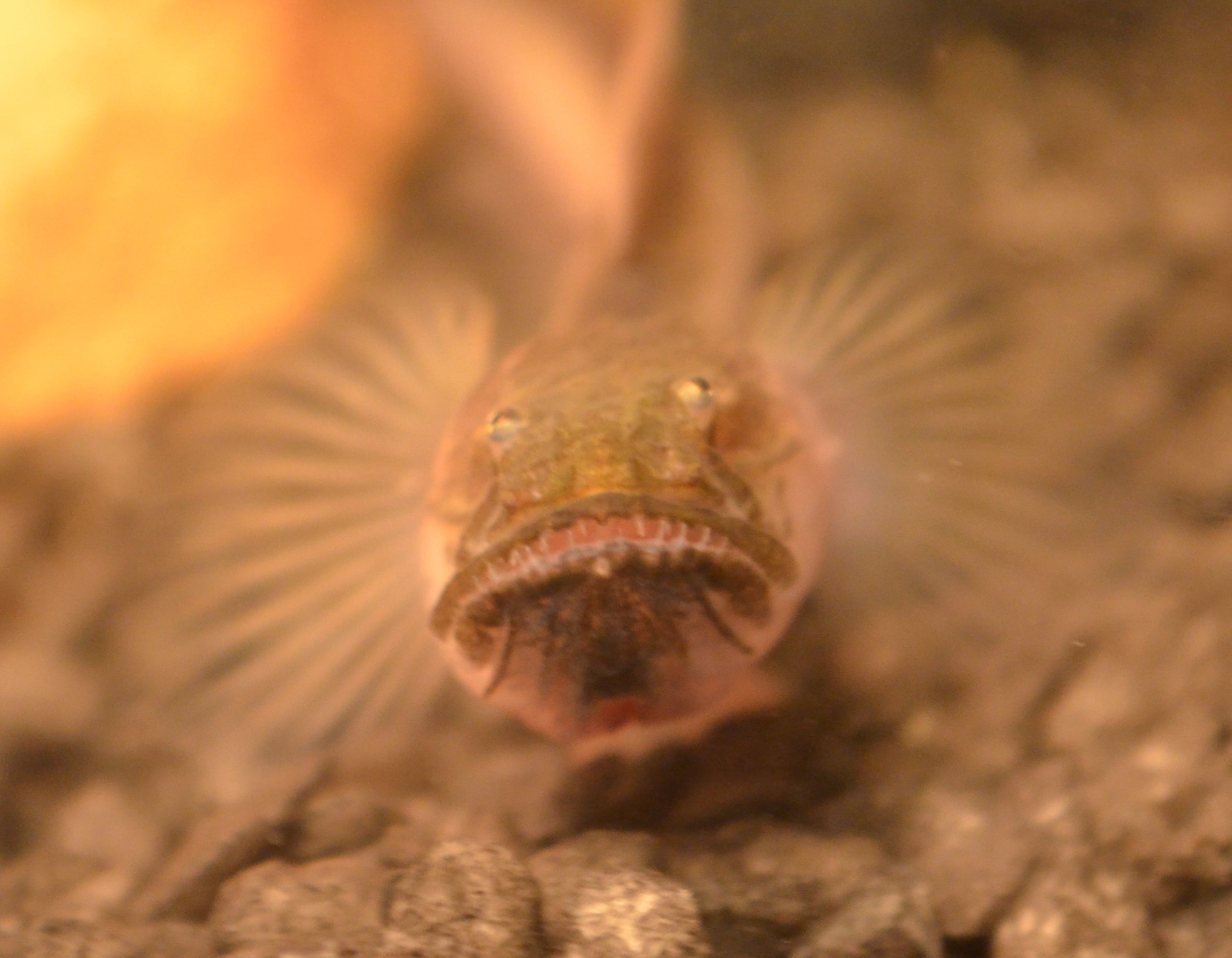 how to care for a violet goby dragonfish daughter of maat on