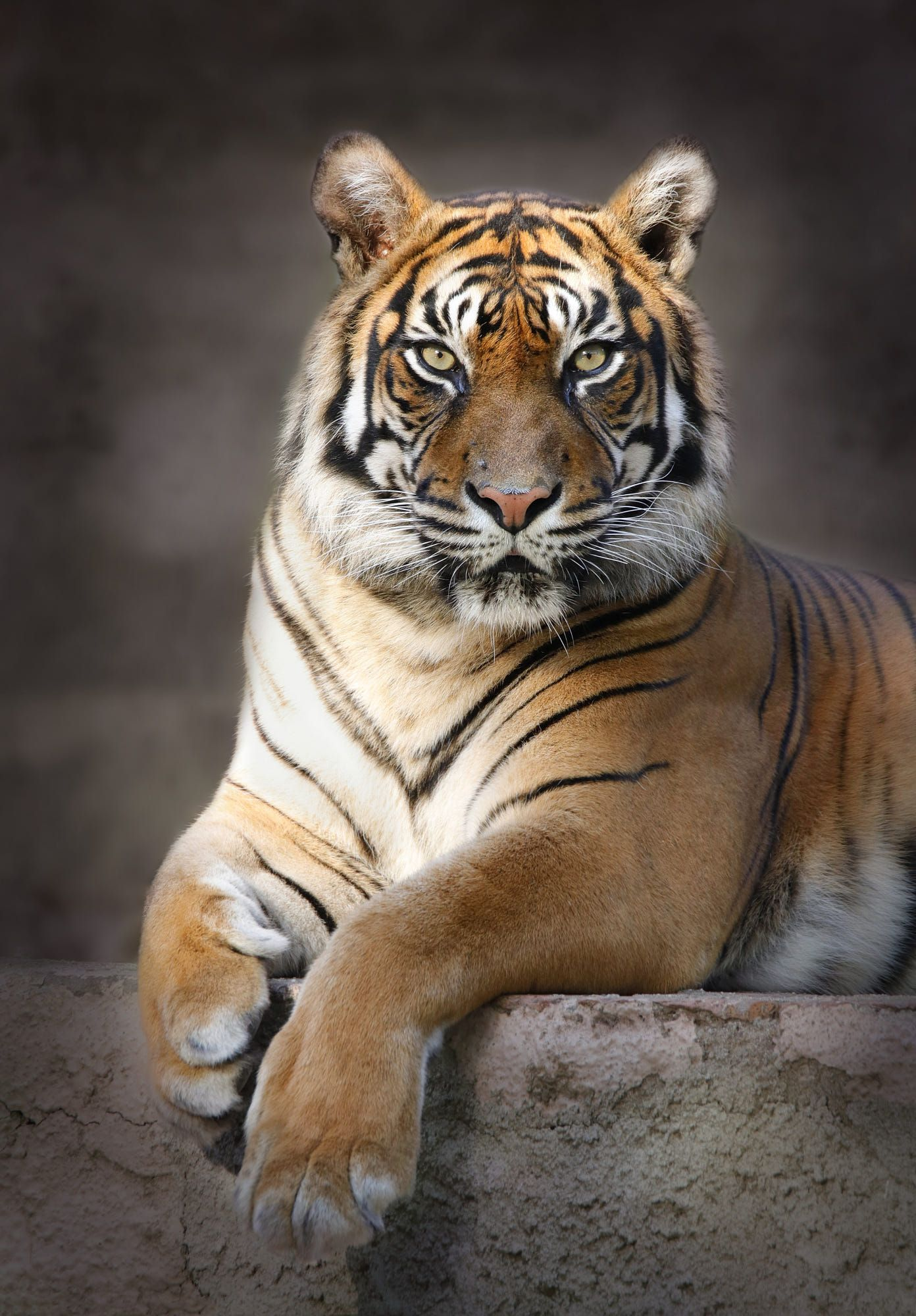Tiger By Carles Just 500px In 2020 Animals Beautiful Tiger Pictures Majestic Animals