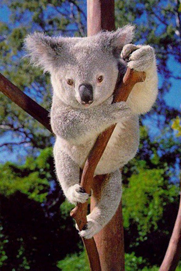 Top 30 cutest animals in the world Koala bear, Koala