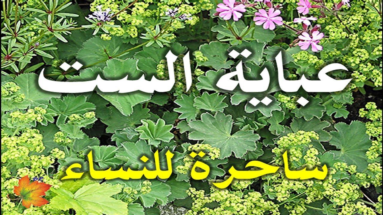 فوائد عشبة عباية الست للتضييق وعلاج التهاب المبيض Herbs Plants Youtube