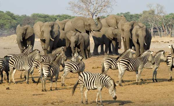 Some Of My Favorite Animals To See On Safari Elephants And Zebras Safari Africa African Safari Hwange National Park Safari Tour
