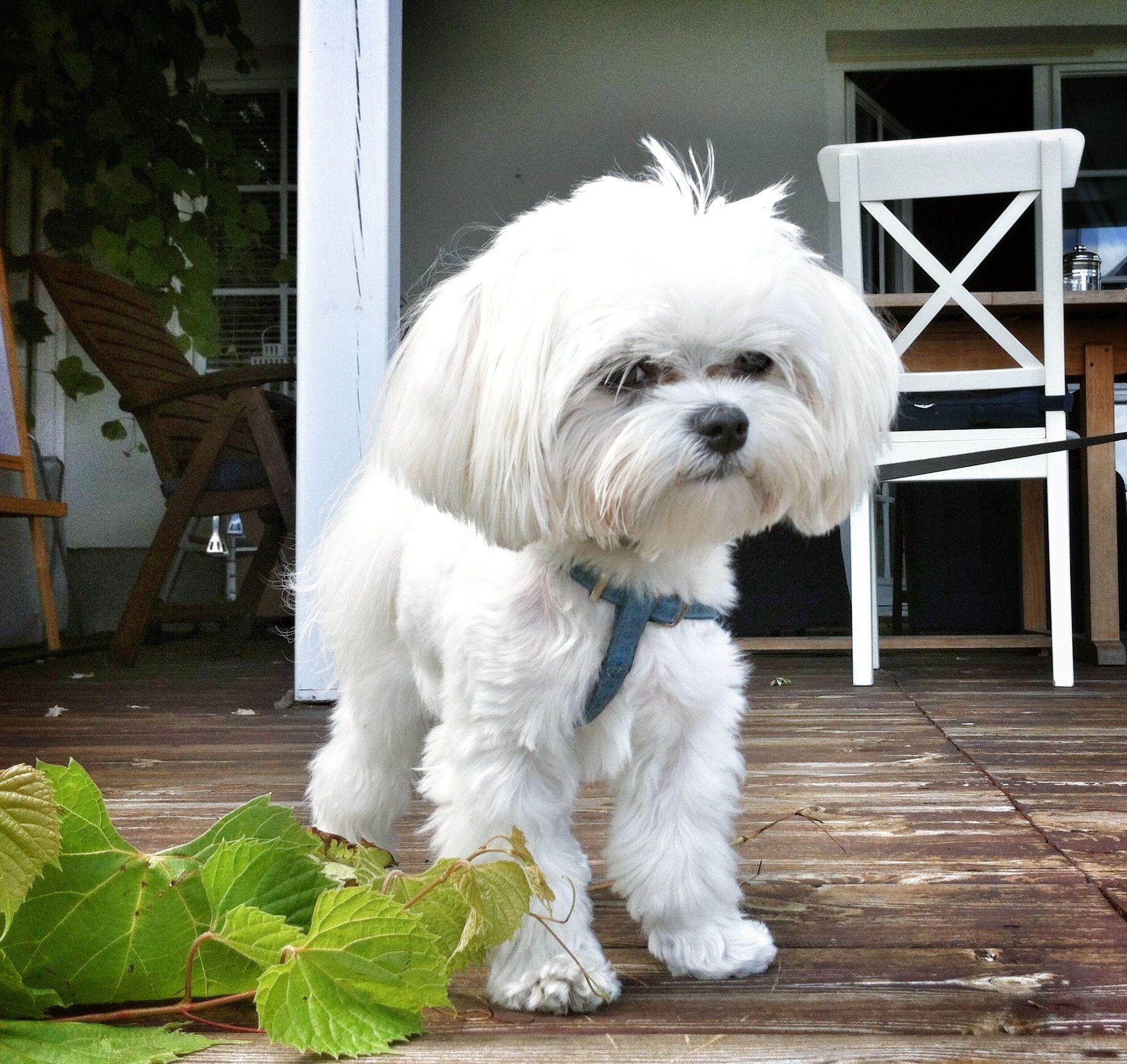 Our Maltese Dog Teo 3 Maltese Dogs Cute Dogs Maltese
