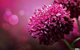 rosa flores, flor, pétalas adoráveis