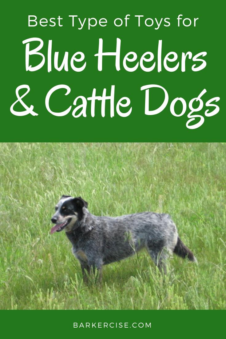 Best Type Of Toys For Blue Heelers Blue Heeler Blue Heeler Dogs Blue Heeler Puppies