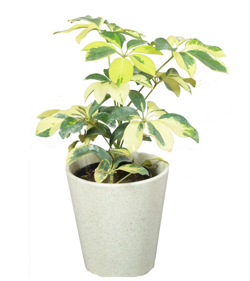 Umbrella Plant Toxic: Schefflera Plants