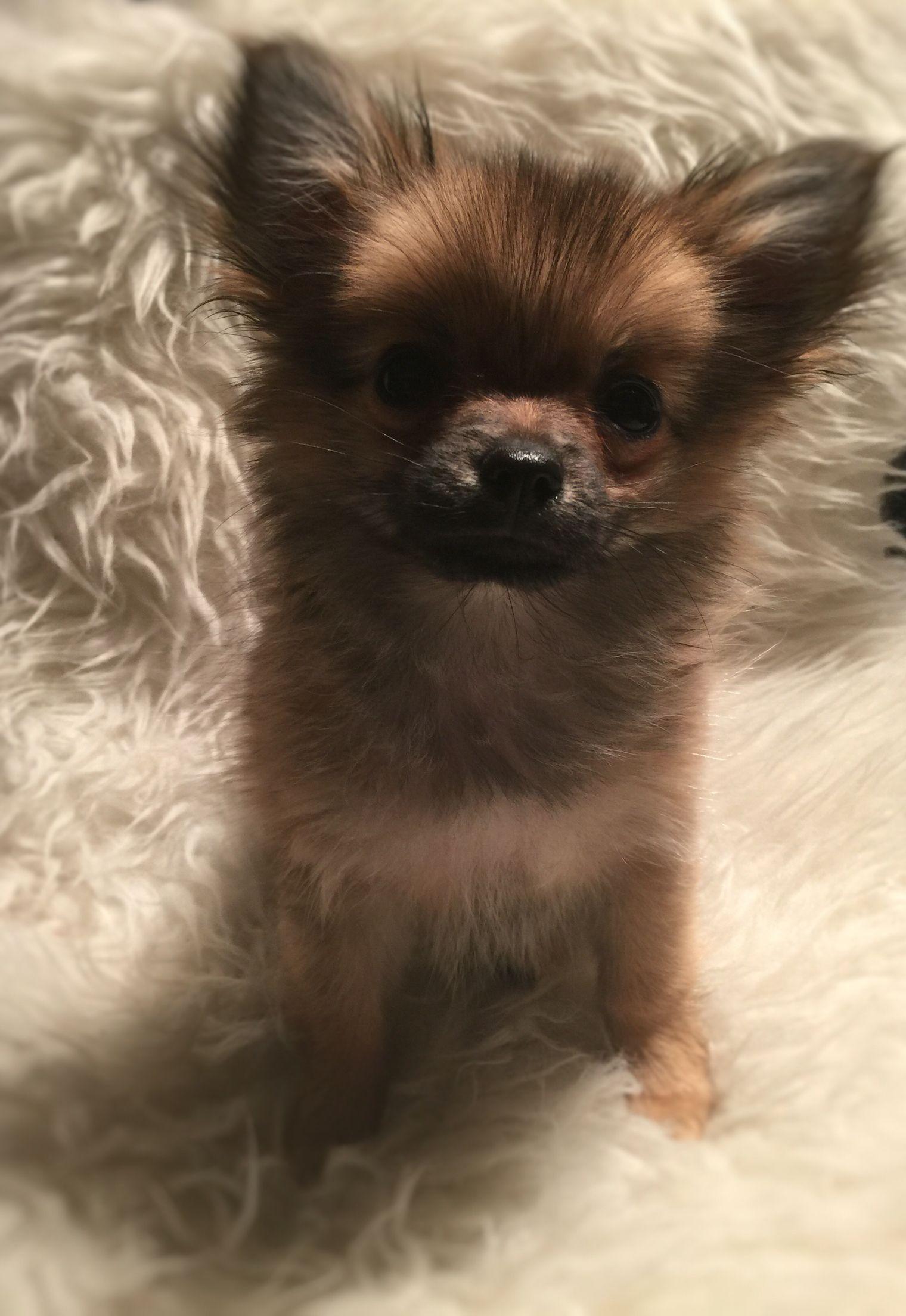 My 14 Weeks Old Pomchi Pomeranian Chihuahua Pomchi Pomchi