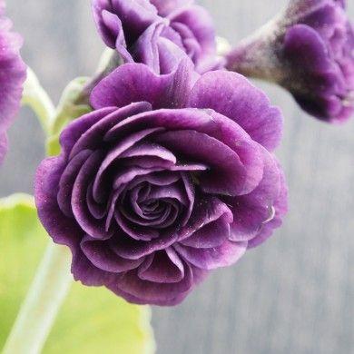 Aurikel-Paket (Primula auricula) für den Garten