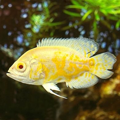 Lemon Oscar Oscar Fish Fish Live Aquarium Fish
