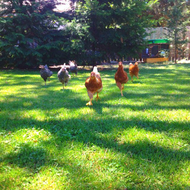 My backyard chickens