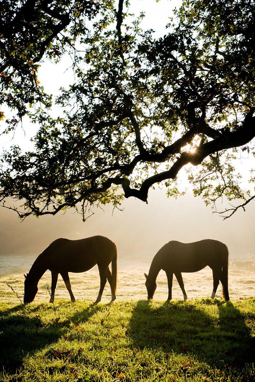 Två hästar som äter av det friska gräset under ett träd en vacker morgon i Oktober.