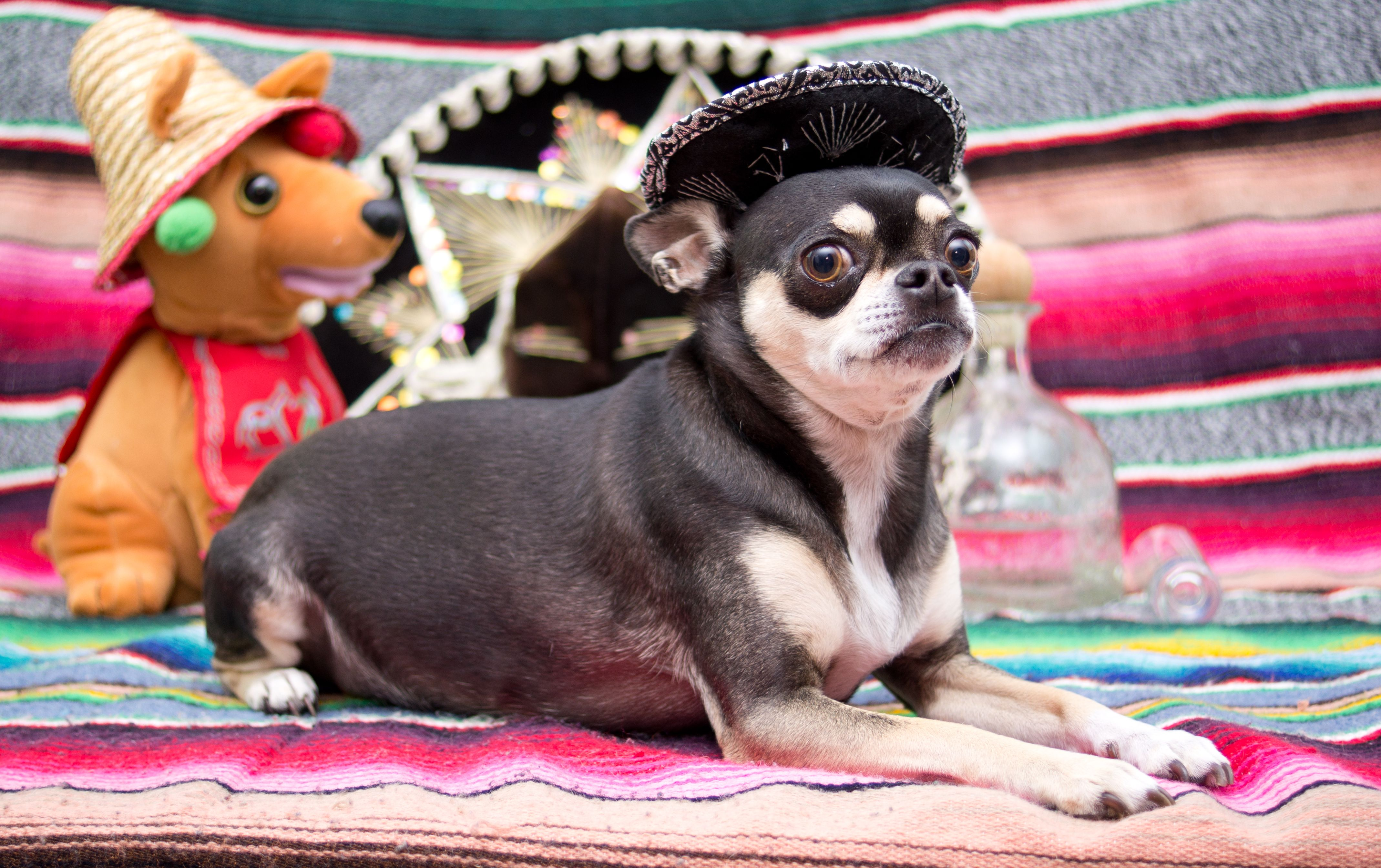 Pig Dog Celebrating Her Mexican Heritage Chihuahua Puppies Cute Chihuahua Chihuahua