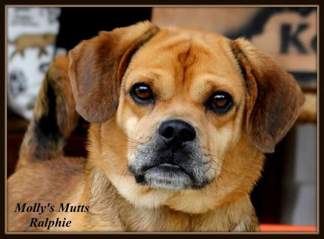 Adopt Ralphie On Pug Beagle Mix Pug Mix Animal Rescue