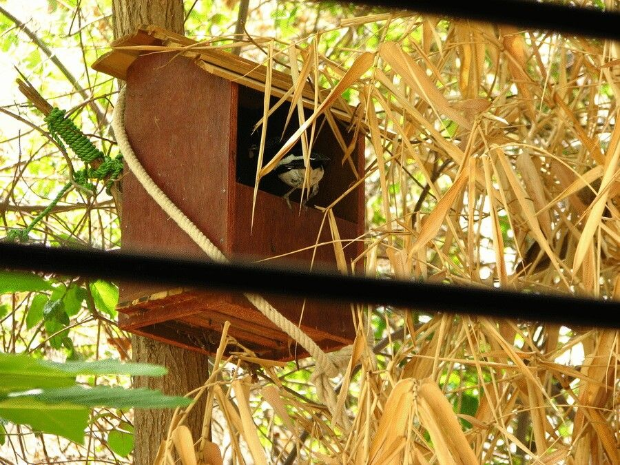 Magpie robin nesting in a house we made for them. Pic from my kitchen..