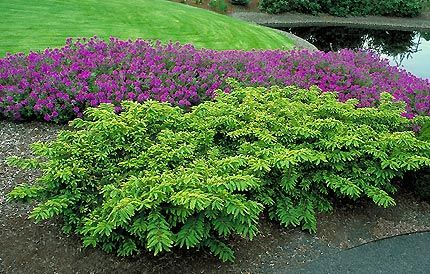 japanese yew. good with purple