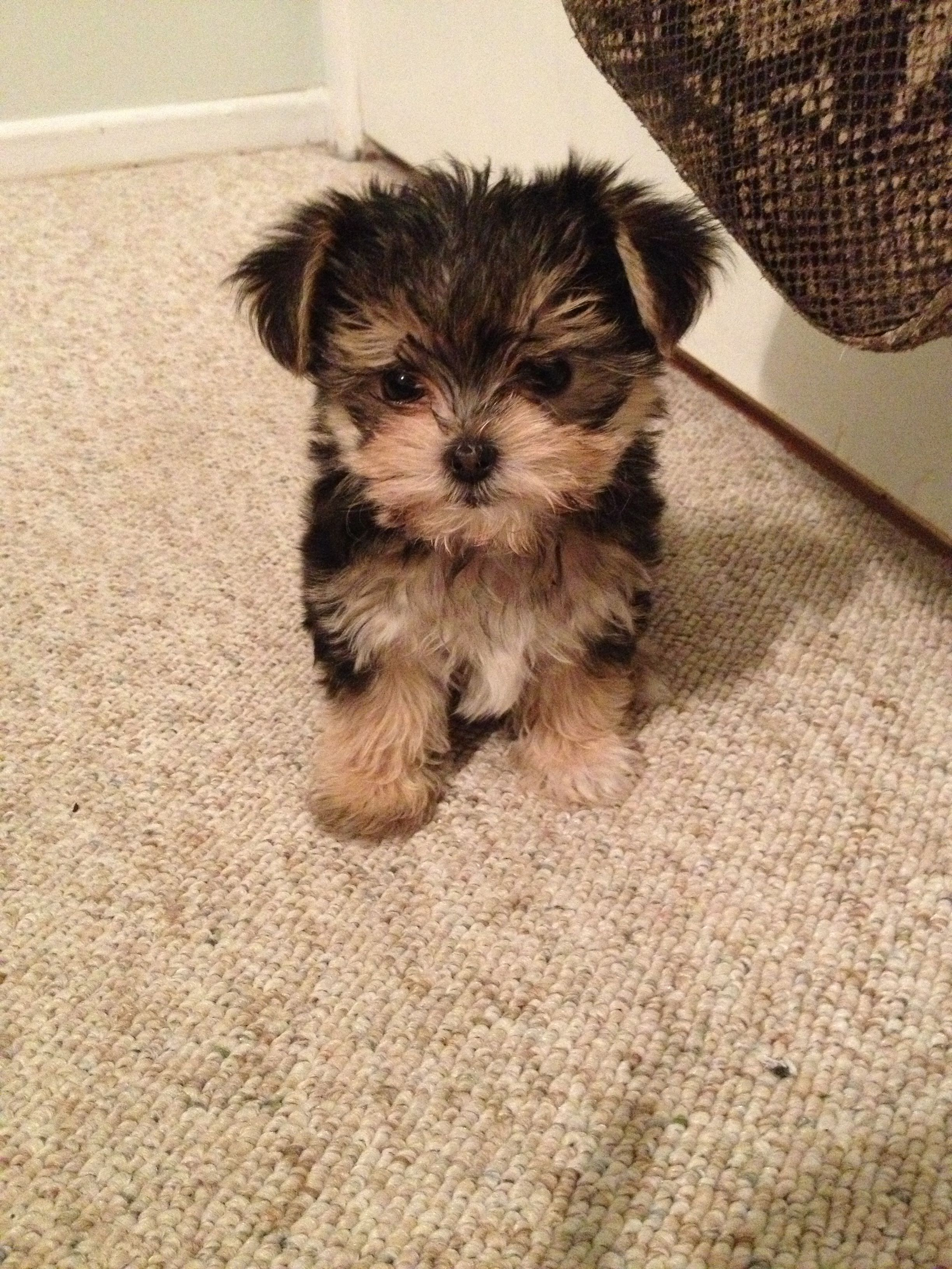small yorkie puppy the 25 best morkie puppies ideas on pinterest small 9808
