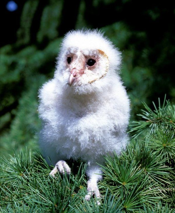 Cute Barn Tyto Owl Wallpaper Pinterest