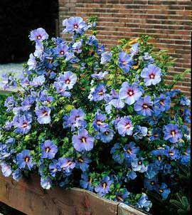 Starter Plant Of This Wonderfuly Unusual Hibiscus Syriacus Bluebird