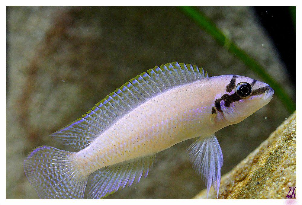 Chalinochromis brichardi - ~5.5