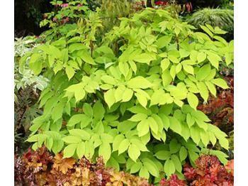 Aralia cordata Sun king - Le jardin de Taurignan, producteur de plantes vivaces