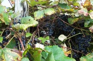 Concord Grapes In September