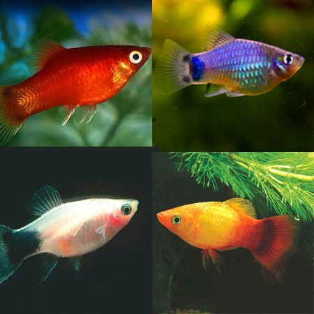 Assorted Platy Tropical Fish Tanks Beautiful Fish Tropical Fish