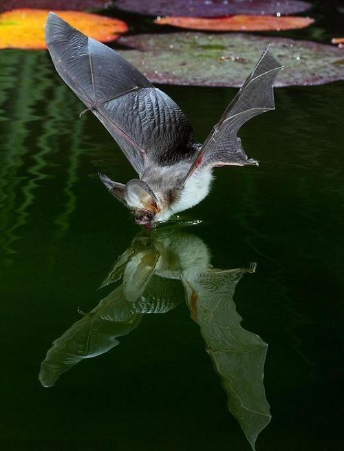 A Bat Meeting Its Reflection A Little Batty Pinterest